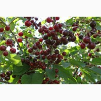 Продажа вишни оптом заготовитель
