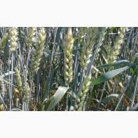 Сорт озимой канадской пшеницы Роял