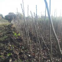 Саженцы грецкого ореха сеянец, стратификат 8 сортов, опт