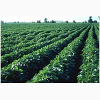 Семена СОИ под раундап, посевная соя Аполло, Максус, Гримо, Венос, Монро