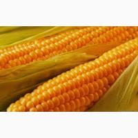 ДН Хортиця насіння кукурудзи ФАО 240