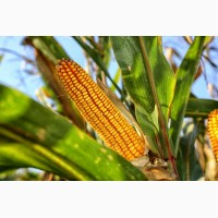 Семена кукурузы от АГРОЕМГА Оржица