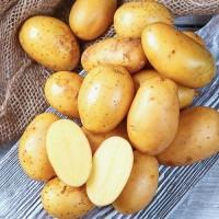 Семенной картофель Королева Анна 1Р. Голландия, 5кг, 25 кг