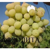 Привитые кишмишевые сорта винограда