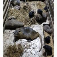 Продам нутрии, щенки от месяца, самцы на разведение, котные самки