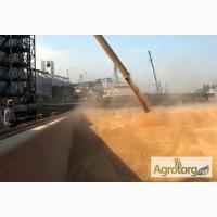 Пшеница мягкая в порту Бандер Аббас, Иран