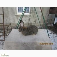 Продам чистопородних кролiв