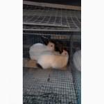 Продам кроликов Колифорнийской породы