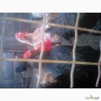 Гусята, цыплята, перепелята домашние-инкубационное яйцо