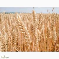 Семена озимой пшеницы Балатон 1 р. Австрия (продам)