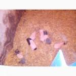 Продам ветнамских свиней 2свини 1хряк и 6поросят
