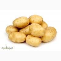 Покупаем картофель насыпью. От 50 до 1000 тонн