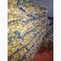Купим картофель урожай 2019