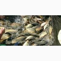 Принимаем пред новогодние заказы на продажу и поставку живой рыбы: Карась, карп, щука