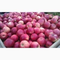 Куплю яблоки на переработку