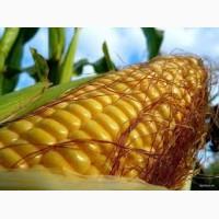 Любава насіння кукурудзи ФАО 240