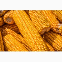 Продам кукурузу 3 клас