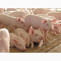 Поросята, свині мясна порода
