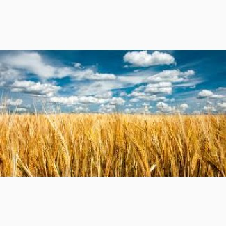 Покупаем Пшеницу.Крупным оптом.Возможен самовывоз
