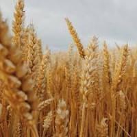 Пшеница ДСТУ. Куплю