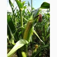 ХОТИН ДН ФАО 280 семена кукурузы