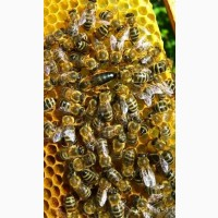 Пчеломатки Бджоломатки КАРПАТКА 2021 ПЧЕЛОПАКЕТЫ Бджолопакети Матки