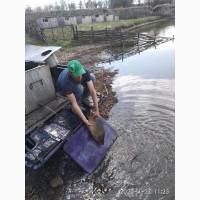 ПРОДАМ КОРОПА, 50 грн/кг Кам#039;янець-Подільський