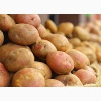 Продам домашнюю картошку