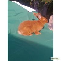 Продам кроликов породы Новозеландская красная (возраст 2 месяца)