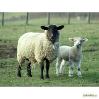 Прдам овец