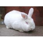 Продаєм кролів різних порід