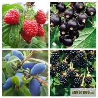 Продам саженцы малины, смородины, жимолости и ежевики