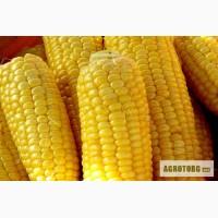 Продам насіння кукурудзи гiбрид Руно 198 СВ