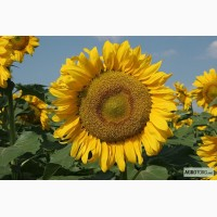 Семена подсолнечника гибрид Заграва