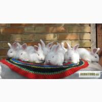 Продаются кролики породы Новозеландская белая.