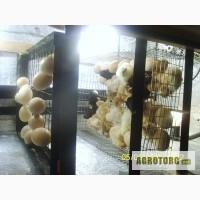 Продам цыплят геркулес