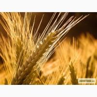 Семена посевной материал пшеница ячмень.