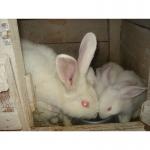 Кролики,белый панон,продажа