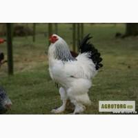 Продам цыплят брама светлая и серебристая.
