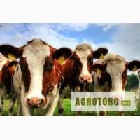 Продам молодых коров (тельные, дойные), месячных телят (бычки)