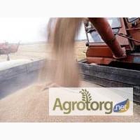 Пшеница 3 класса - Новый Урожай 2017 года