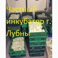 Суточные цыплята бройлера КОББ 500, РОС 308 и инкубационные яйца