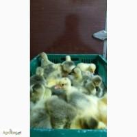 Продам добових гусят, курчат, каченят