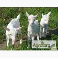 Срочно продам дойных коз