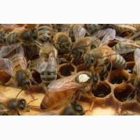 Матки породы пчел Бакфаст не 2019