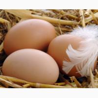 Инкубационное яйцо.Мясо яичные породы кур Венгрия, Полтавская обл