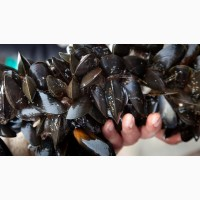 Живые мидии в ракушке черноморские средние