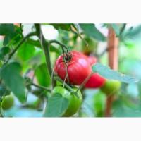 Продам розовые томаты оптом