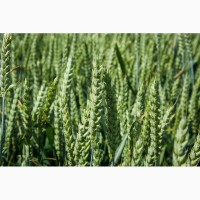 Озима пшениця Колонія