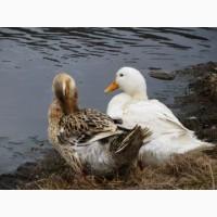 Продам качку 100 грн. за штуку відгодовані на вигулі на водоймі